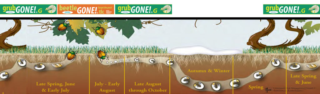 How to use IPM methods to manage white grubs in lawns.